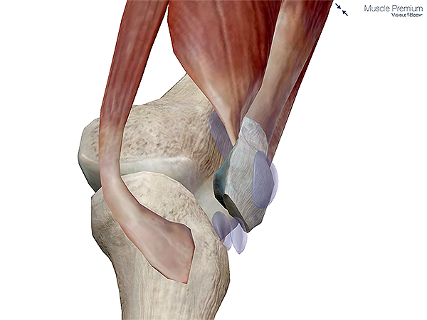 Learn muscle anatomy bursae muscle patella superficial subcutaneous prepatellar bursa knee synovial resized 600 ccuart Images