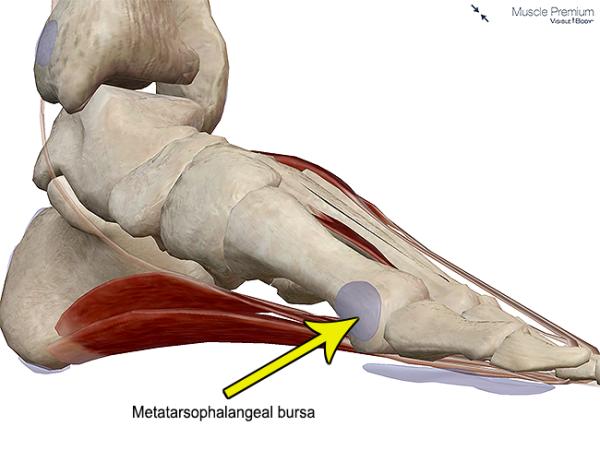 Muscle metatarsophalangeal bursa hallux big toe joint metatarsal resized 600