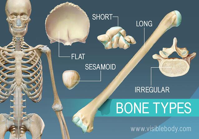 Types Of Bones Learn Skeleton Anatomy