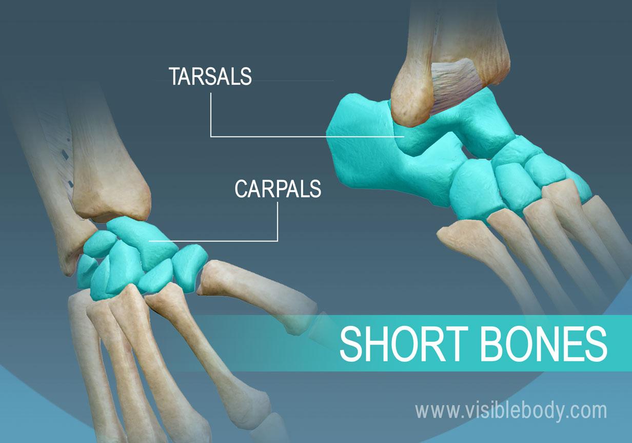 Metatarsal bone anatomy