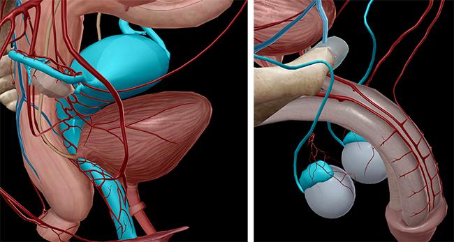 Reproductive anatomy epididymis gartner's duct
