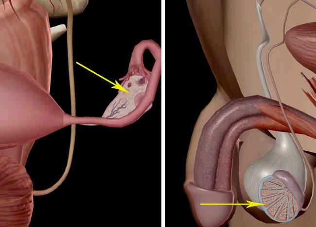 ovary prostate uterus testes vagina reproductive