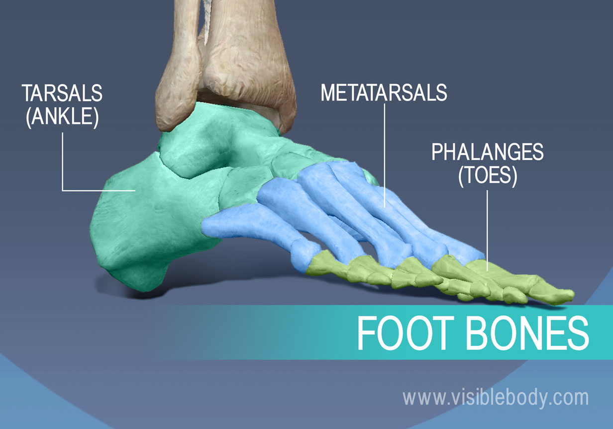 Bones of the foot, Metatarsals, proximal, middle and distal phalanges