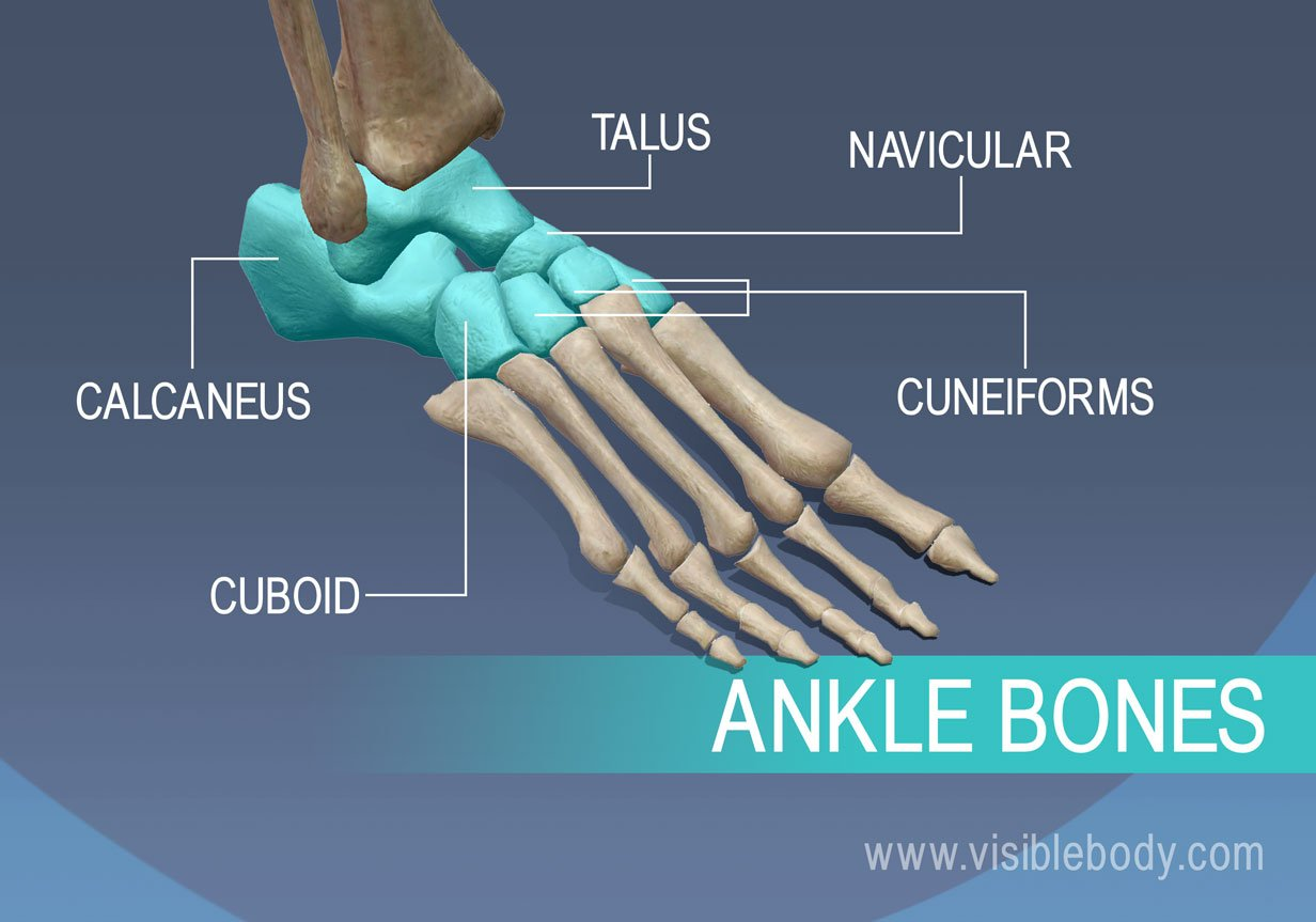 Ankle bones, talus, navicular, cuneiforms, calcaneus, and cuboid