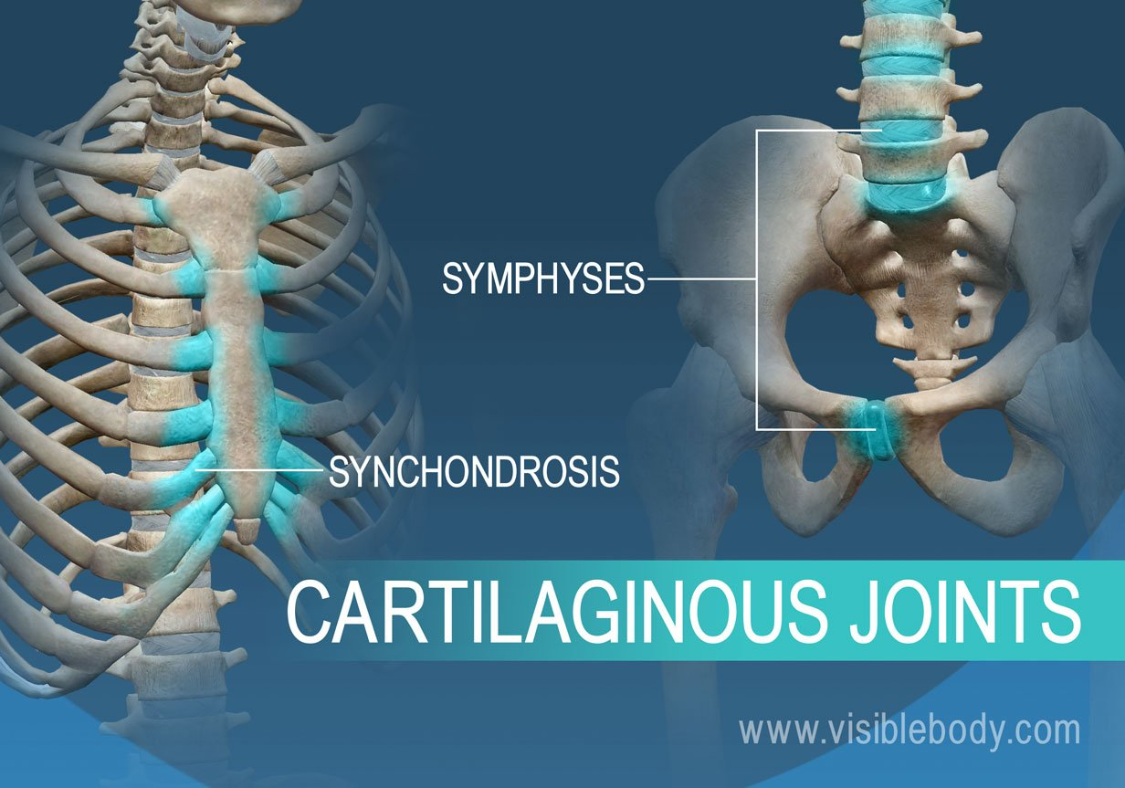 Joints And Ligaments Learn Skeleton Anatomy Synchondrosis and symphysis are two types of joints that are situated between bones. joints and ligaments learn skeleton