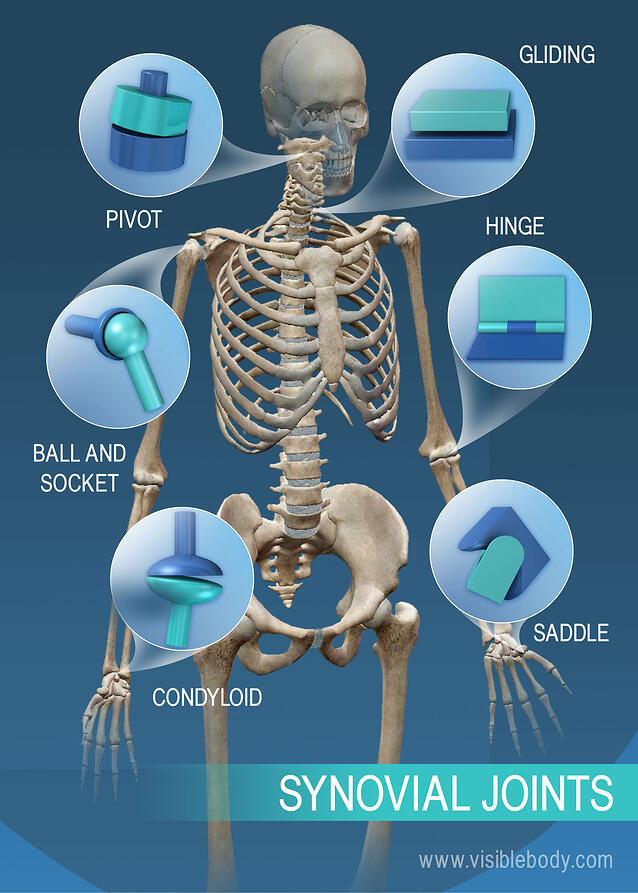 Joints And Ligaments Learn Skeleton Anatomy