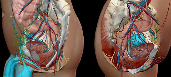 Reproductive anatomy