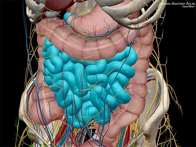 Digestive-System-Small-Intestine-Ileum-jejunum-duodenum