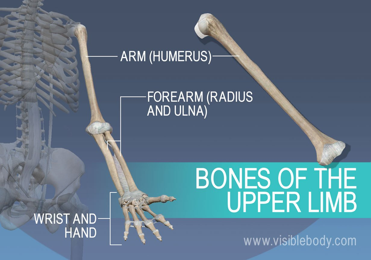 The humerus, radius, ulna, and bones of the wrist and hand