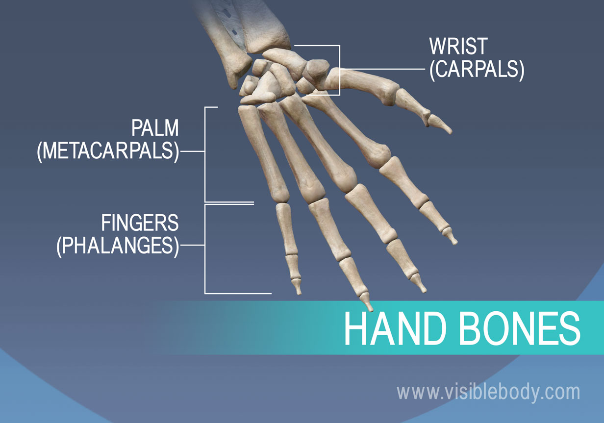 Bones of the hand, metacarpals, proximal, middle, and distal phalanges
