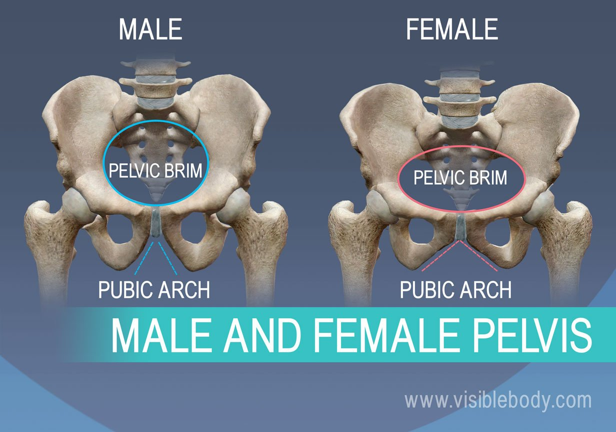Difference between pubic brim and pubic arch in male and female