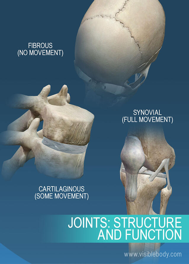 Joints and Ligaments | Learn Skeleton Anatomy