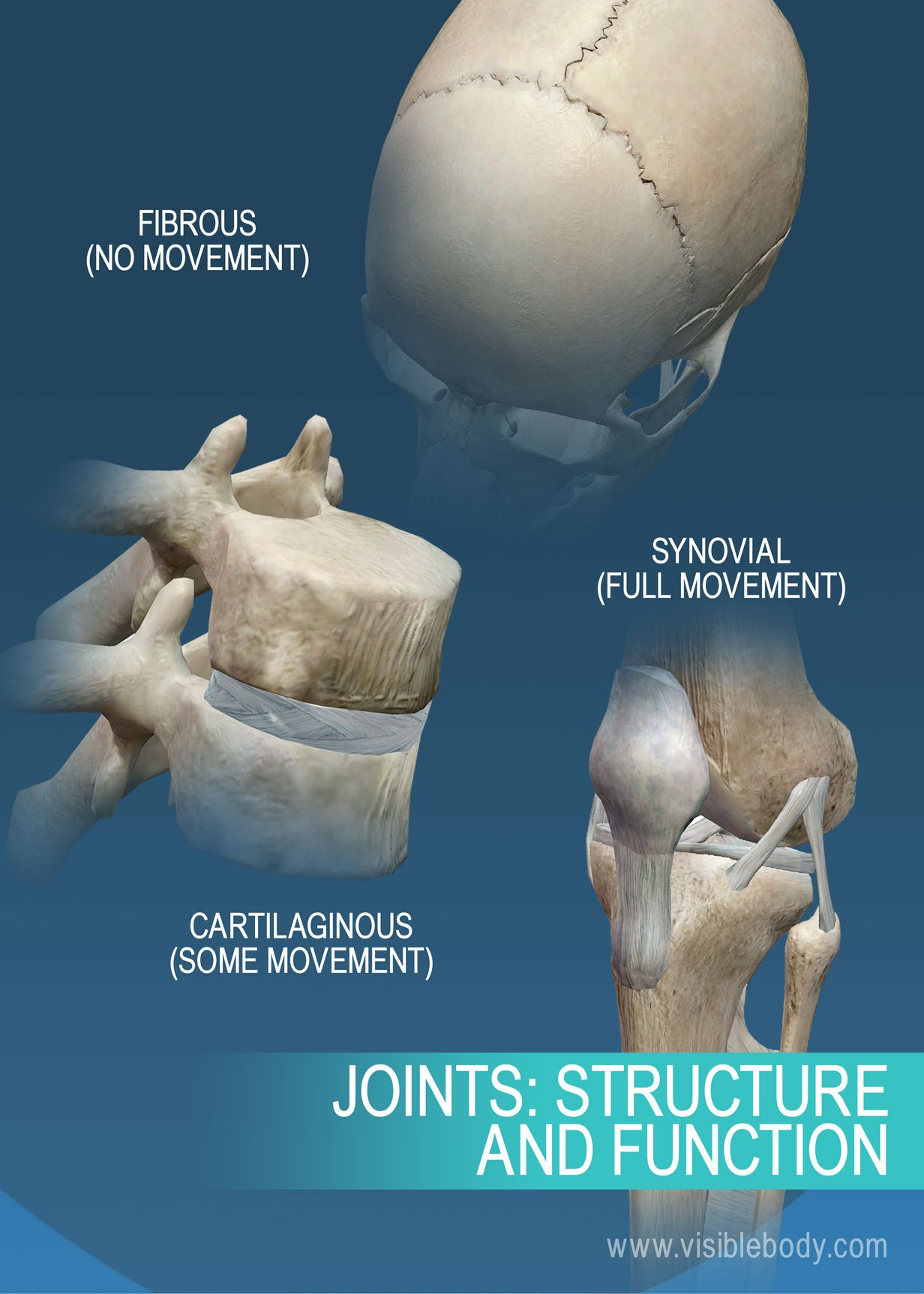 Joints And Ligaments Learn Skeleton Anatomy A slightly movable joint (see amphiarthrosis) in which the surfaces of the bones are separated synchondrosis. a dictionary of nursing. joints and ligaments learn skeleton