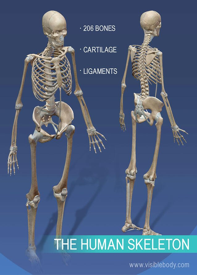 Full skeleton of the human body