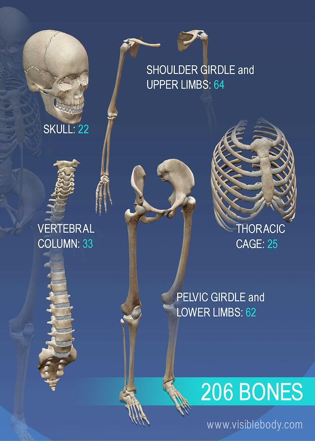 Overview of the variety of bones