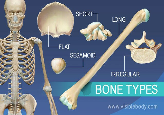Overview of 5 bone types, long, short, flat, irregular, and sesamoid