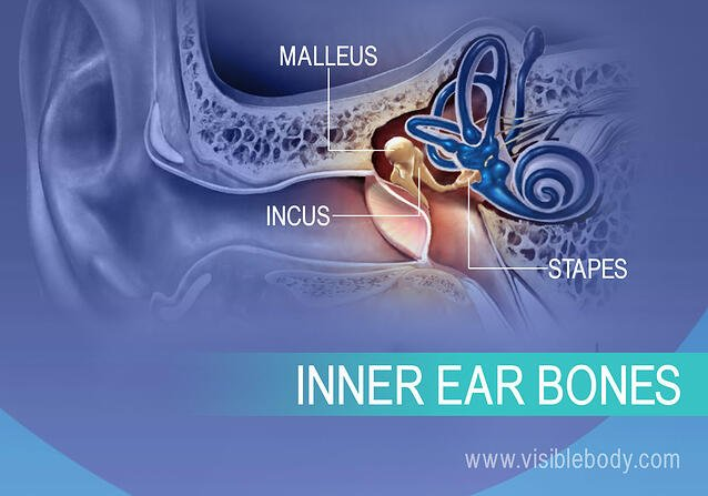 Inner ear bones, the Incus, Malleus, and Stapes