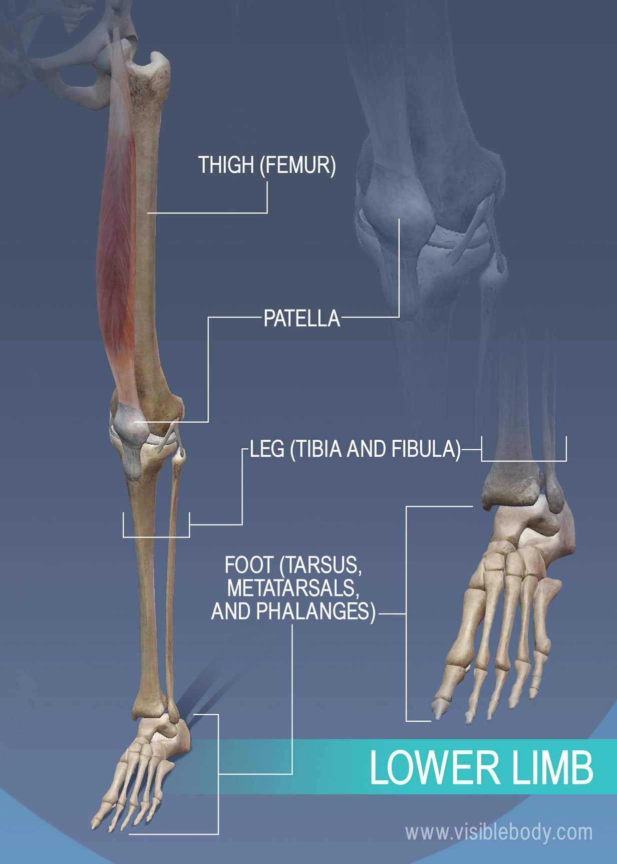 Thigh, leg, and ankle bones of the lower limb