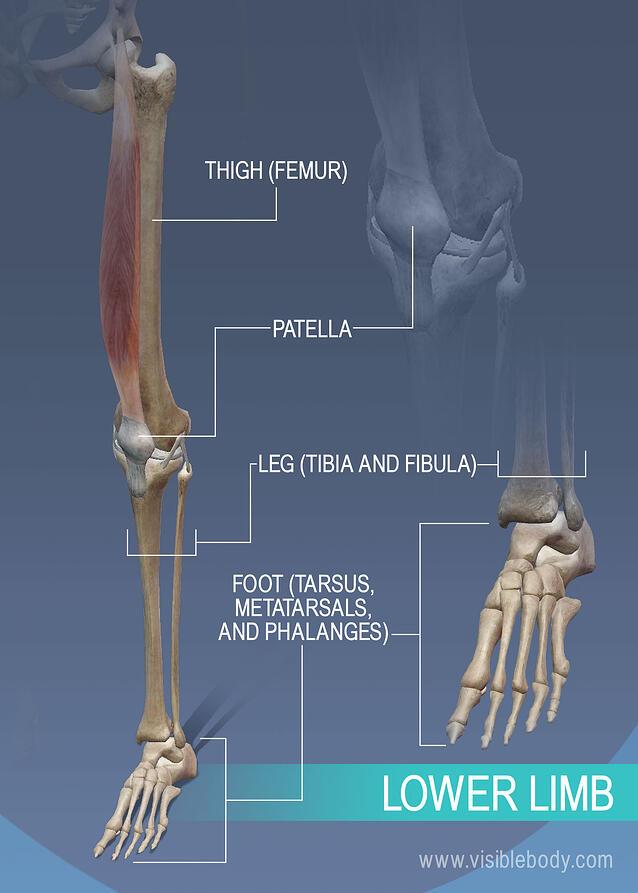 Appendicular Skeleton   Learn Skeleton Anatomy
