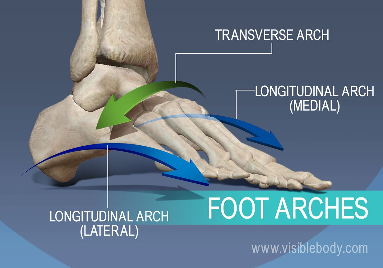 Foot arches, transverse, lateral longitudinal, and medial longitudinal