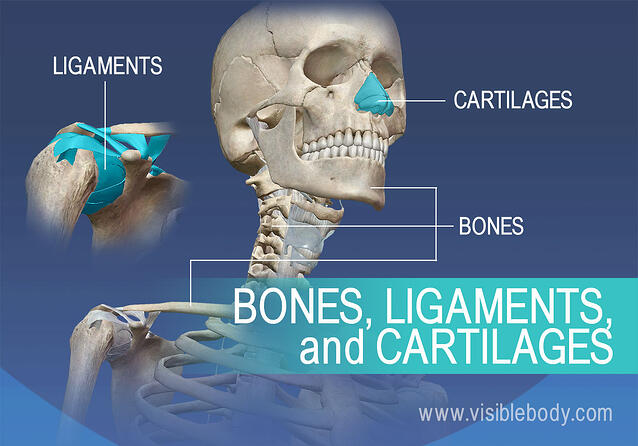 Ligaments and cartilage in the human body