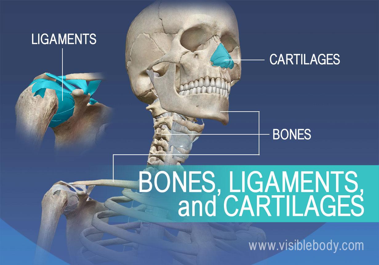 Bones-Ligaments-Cartilages