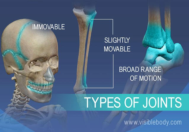 Immovable, slightly movable joints, and joints with a broad range of motion