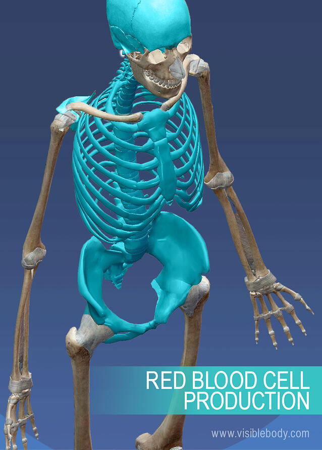 Production of red blood cells in the abdominal region of the axial skeleton