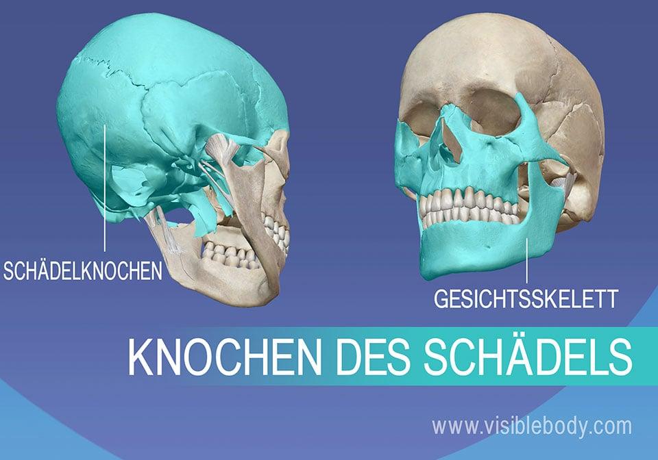 Schädelknochen und Gesichtsskelett