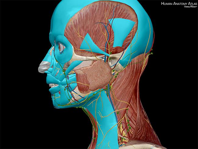 Muscles-of-expression-head-buccinator-levator-labii-superioris-alaeque-nasi-mentalis