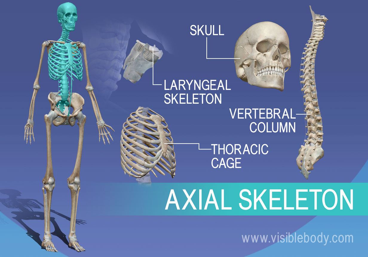 The axial skeleton is composed of the bones in the vertebra, thorax, skull and larynx