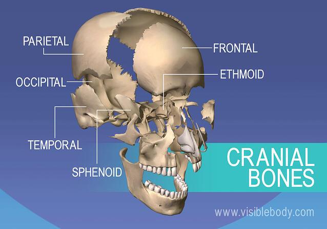 The Human Skull - PurposeGames