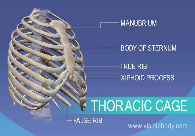 Manubrium, true and false ribs, sternum, and xiphoid process in thoracic cage