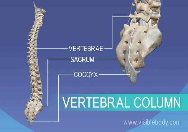Axial Skeleton   Learn Skeleton Anatomy