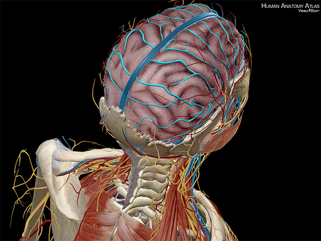 Brain-Circulation-Circle-of-Willis-cerebral-arterial-circle-anastomosis