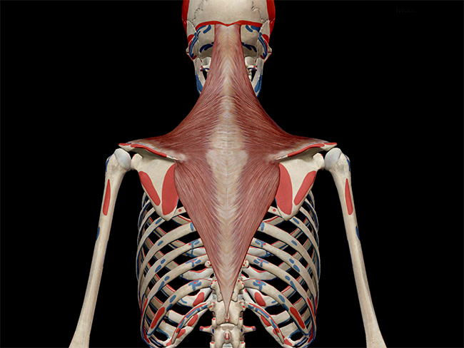 Trapezius-posterior-thorax-muscle