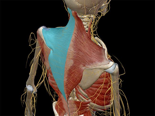 Learn Muscle Anatomy: Trapezius