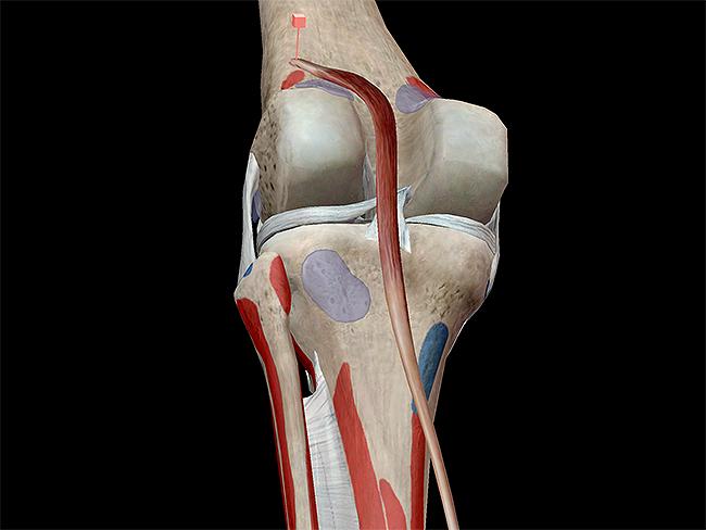 Musculoskeletal-system-plantarflexion-plantaris-knee-condyles