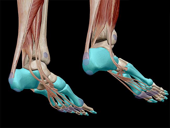 Musculoskeletal-system-plantarflexion-calcaneus-medial-cuneiform-metatarsals