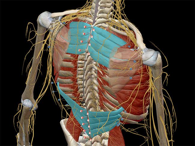 Muscular-system-serratus-superior-inferior-thorax