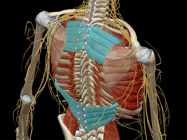 Learn Muscle Anatomy Serratus Posterior Superior And Inferior