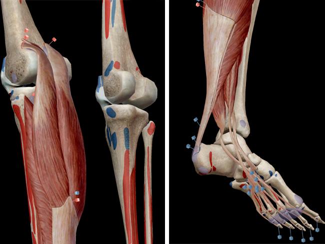 Muscular-system-plantarflexion-distal-leg-triceps-surae-plantaris-soleus