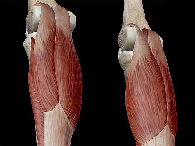 Learn Muscle Anatomy Muscles Of Plantarflexion