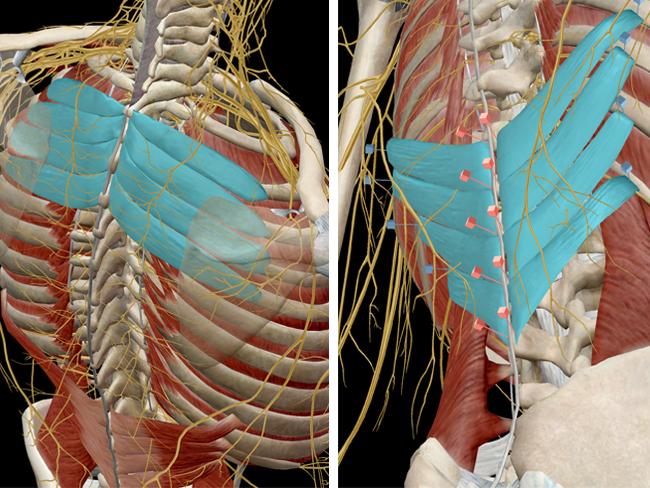 Musculoskeletal-serratus-posterior-thorax