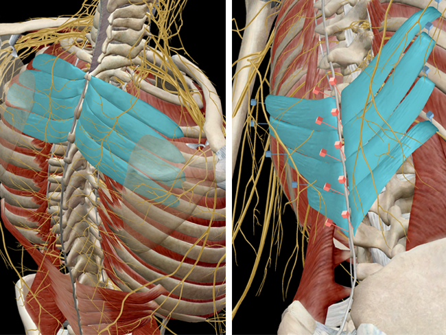 Learn Muscle Anatomy: Serratus Posterior Superior and Inferior