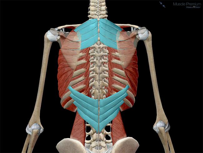 Muscular-system-thorax-muscles-serratus-posterior-superior-inferior