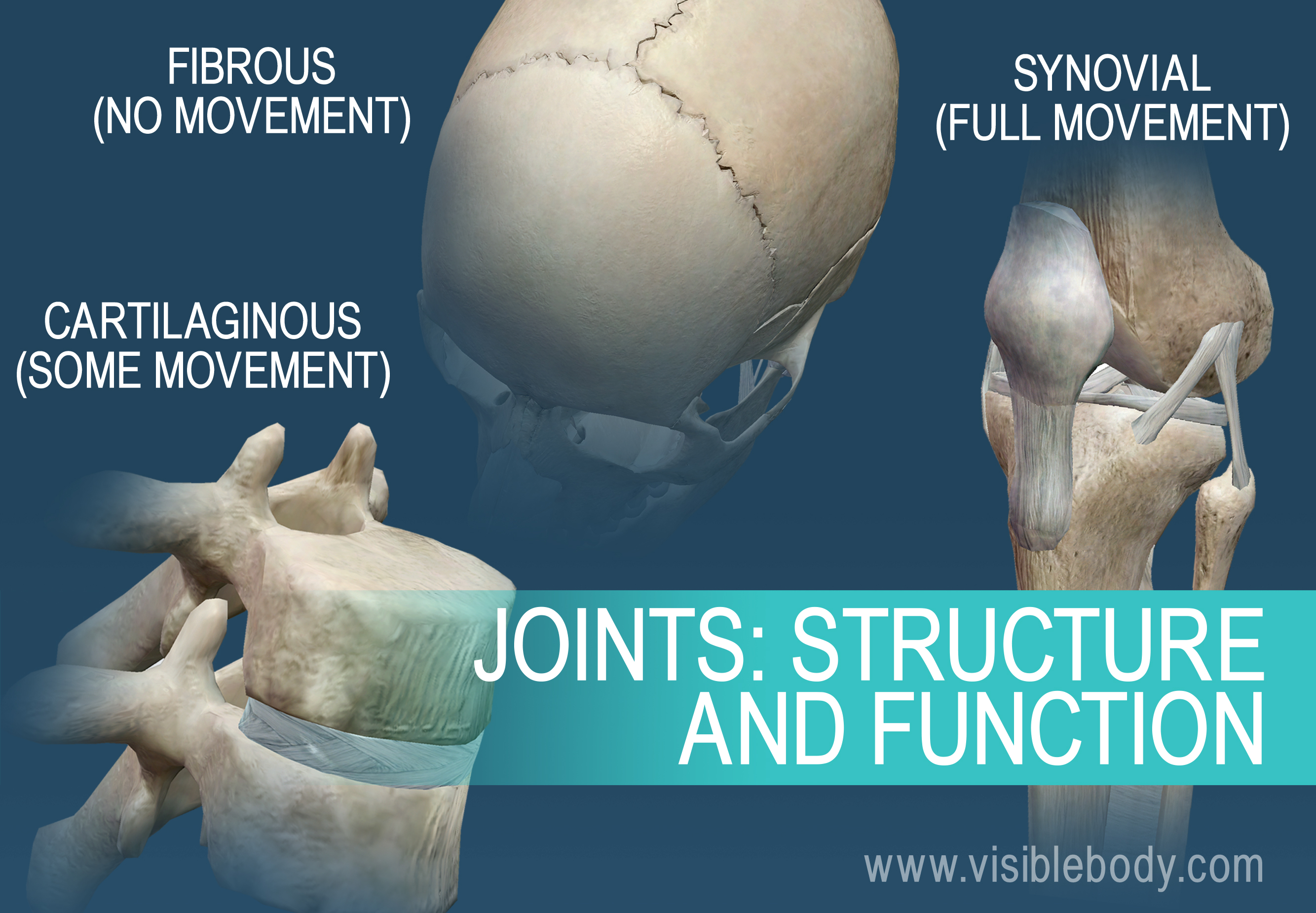 Joints can be named for their motion type, or their composition