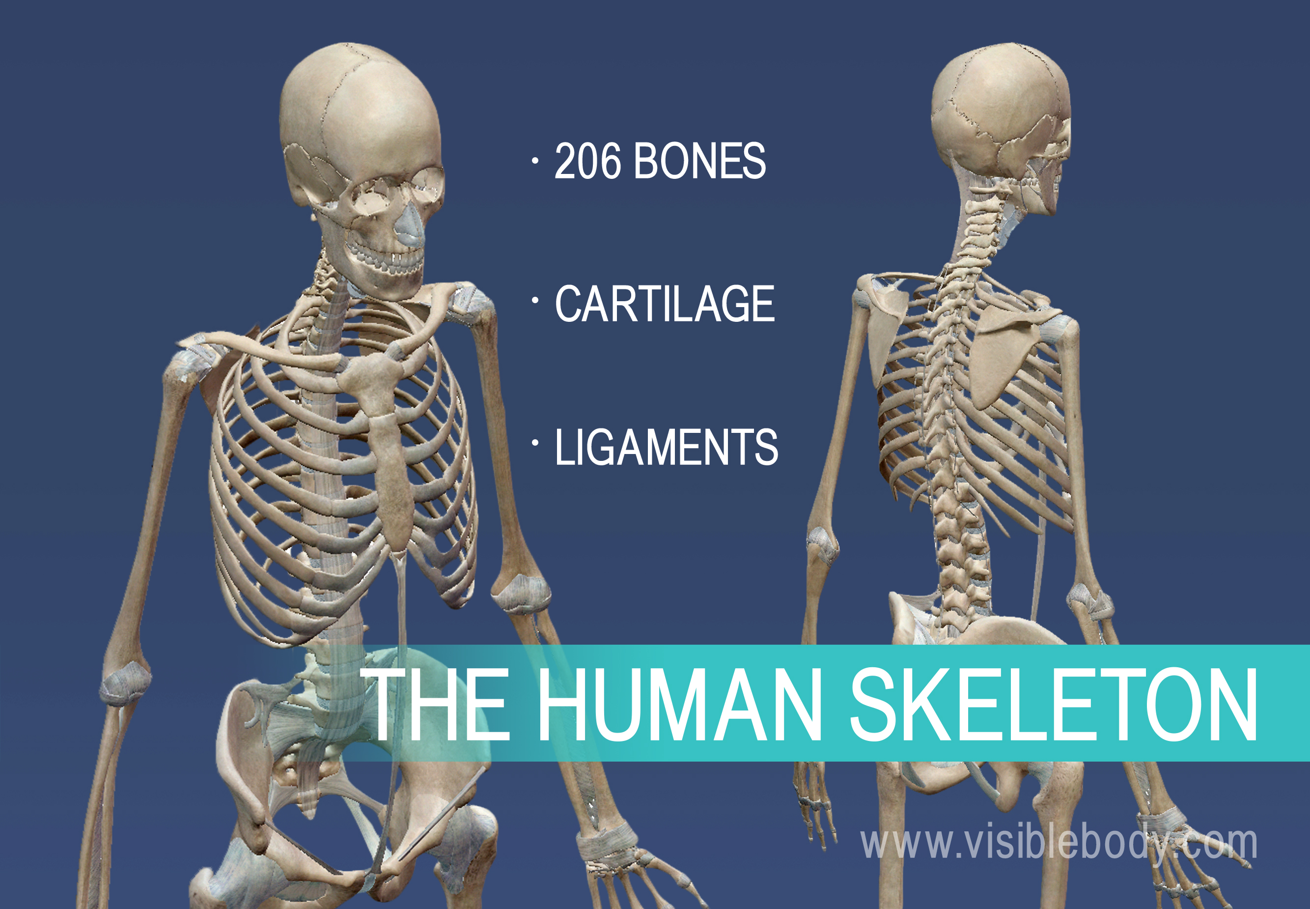 The skeletal system is composed of 206 bones, cartilage, and ligaments