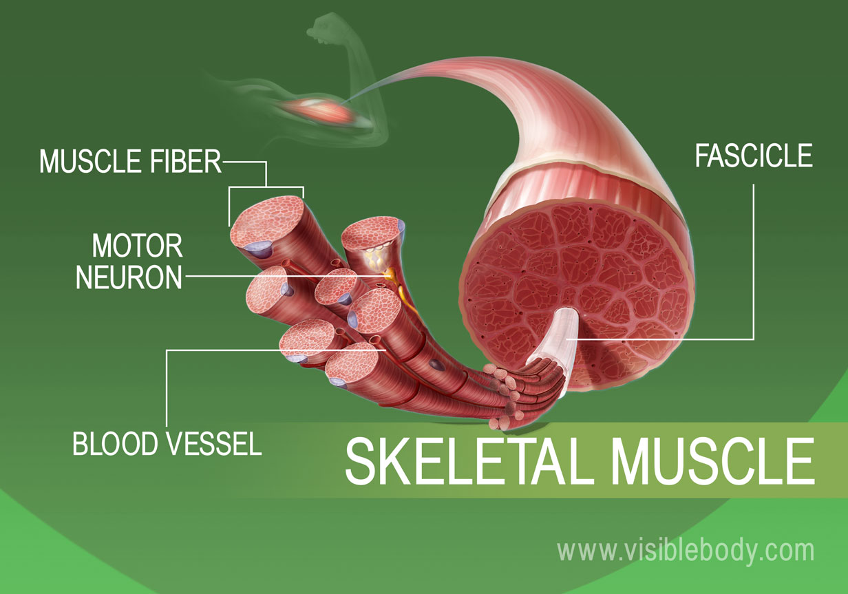 Expanded view of skeletal muscle tissue