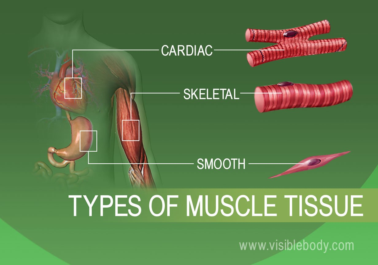 Muscle Tissue Types | ...
